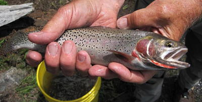Colorado Greenback Cutthroat