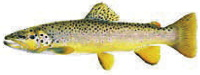 Brown Trout Donor Level: Art used with permission of Joseph Tomelleri.