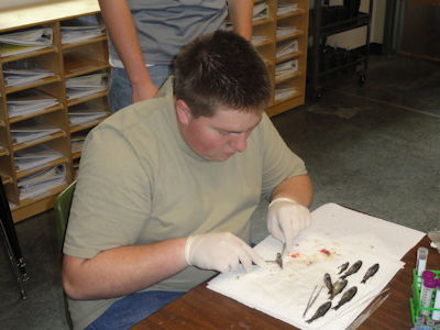 Dissecting small fish is delicate work